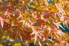 O bonsai do bordo japon?s sae na esta??o do outono fotografia de stock