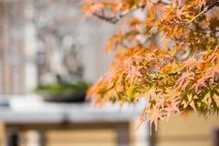 O bonsai do bordo japon?s sae na esta??o do outono imagens de stock royalty free
