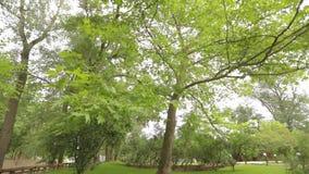 O bordo grande no parque, bordo grande verde, folhas de bordo balança no vento filme