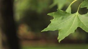 O bordo verde no vento, folhas de bordo da folha do close-up, folhas de bordo balan?a no vento filme