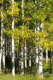 O bosque de Aspen Trees branco com amarelo do outono sae Fotos de Stock Royalty Free