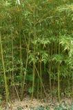 O bosque de bambu, bambu cresce no parque fotos de stock