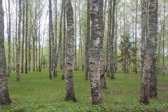 O bosque do vidoeiro imagem de stock royalty free
