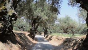 O bosque verde-oliva video estoque