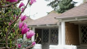 O botão cor-de-rosa da magnólia, flores da magnólia cor-de-rosa, magnólia cor-de-rosa, magnólia cor-de-rosa floresce no ramo de á video estoque