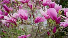 O botão cor-de-rosa da magnólia, flores da magnólia cor-de-rosa, magnólia cor-de-rosa, magnólia cor-de-rosa floresce no ramo de á vídeos de arquivo