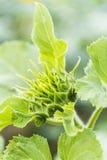 O botão da flor do girassol Imagens de Stock Royalty Free