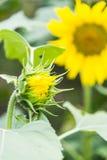 O botão da flor do girassol Fotografia de Stock Royalty Free