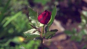 O botão da rosa do vermelho no jardim balança delicadamente o vento video estoque