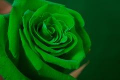 O botão de um verde levantou-se Imagem de Stock
