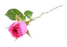O botão de uma rosa com água deixa cair. fotos de stock royalty free