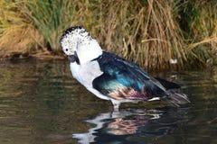O botão faturou melanotos dos sarkidiornis do pato fotografia de stock