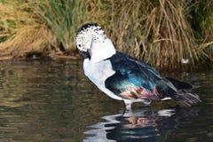 O botão faturou melanotos dos sarkidiornis do pato fotos de stock