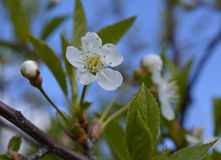 O botão floral de florescência da pétala exterior cor-de-rosa da folha da estação planta bloss de florescência da árvore da mola  Fotos de Stock