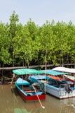 O bote para turistas estacionou no campo tagal verde da árvore de Ceriops imagem de stock