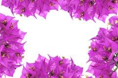 O Bougainvillea floresce o frame Fotos de Stock