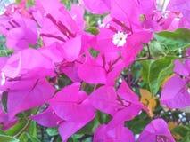 O bouganvilla de papel de Flower Fotografia de Stock Royalty Free