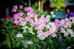 O bouganvilla de papel de Flower Foto de Stock Royalty Free