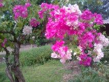 O bouganvilla de papel de Flower Imagens de Stock
