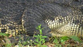 O braço e o estômago do crocodilo vídeos de arquivo
