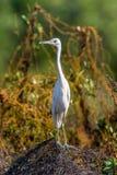 O branco adulto da garça-real de azul pequeno morph foto de stock