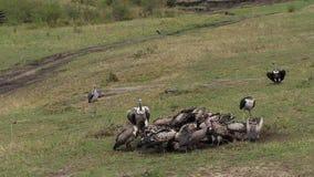 O branco africano suportou o abutre, gyps o africanus, abutre do ` s de Ruppell, rueppelli dos gyps, cegonha de marabu, crumenife video estoque