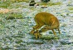 O branco atou a gama e a jovem corça dos cervos no córrego Fotografia de Stock Royalty Free