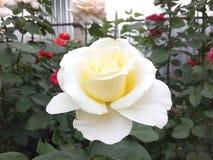 O branco, aumentou, fundo, vista, natureza, beleza, flor, floral, doce, próxima, pétala, romance, Valentim, rosas, delicado, boni imagem de stock royalty free
