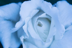 O branco bonito levantou-se Fotografia de Stock Royalty Free