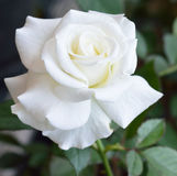 O branco bonito levantou-se Imagem de Stock Royalty Free