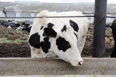 O branco com a vaca de ordenha dos pontos pretos come a alimentação na exploração agrícola da vaca Imagens de Stock