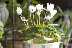 O branco cyclamen Fotografia de Stock