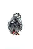 O branco da galinha de Wyandotte atou isolado no fundo branco Foto de Stock Royalty Free