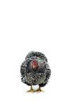 O branco da galinha de Wyandotte atou isolado no fundo branco Fotos de Stock