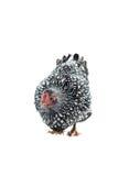 O branco da galinha de Wyandotte atou isolado no fundo branco Imagem de Stock Royalty Free