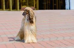 O branco do galgo afegão olha de lado Fotos de Stock Royalty Free