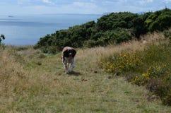 O branco e o Cocker de Brown perseguem o passeio pela costa Fotografia de Stock Royalty Free