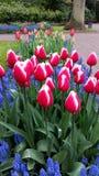 O branco magenta orlarou as tulipas cercadas por botryoides do Muscari Fotos de Stock Royalty Free