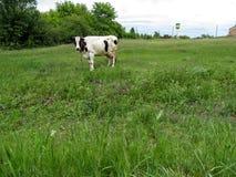 O branco manchou a vaca amarrada em um esclarecimento entre o campo Imagens de Stock