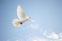 O branco mergulhou no vôo Foto de Stock