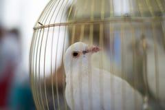 O branco mergulhou, pomba da pomba do casamento em uma gaiola Imagens de Stock Royalty Free