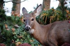 O branco oriental atou os cervos que olham em linha reta em eys Imagens de Stock