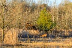 O branco selvagem atou cervos dentro da área da gestão dos animais selvagens no botão calvo, Arkansas fotografia de stock royalty free