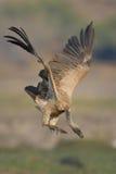 O branco suportou a aterrissagem do abutre em um banco de rio na África meridional Fotografia de Stock
