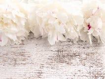 O branco três com vermelho polvilha flores da peônia Imagem de Stock