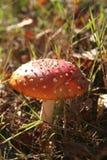 O branco vermelho do cogumelo pontilha a grama e as folhas do outono Foto de Stock