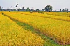 O brilho dourado do arroz e a colheita serão logo depois disso fotos de stock