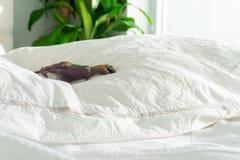 O brinquedo da criança do dinossauro de T-rex na cama do pai macio, com edredão e as folhas enrugadas, e fundamento branco Desc foto de stock