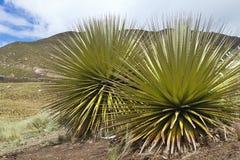 O bromelie o mais grande, raimondii de Puya, Huascaran, Peru Fotografia de Stock Royalty Free