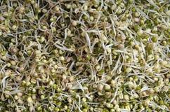 O broto de soja tangled o close-up Fotos de Stock Royalty Free